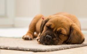 pet sleeing on a carpet